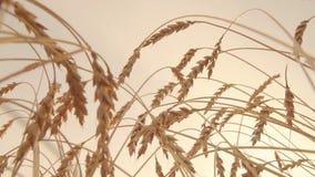 Oren van rijpe gouden tarwe die zich door wind in langzame motie bewegen De achtergrond van de zonsonderganghemel stock video