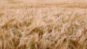 Oren van rijpe tarwe stock footage