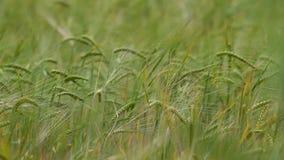 Oren van rijpe tarwe op een gebied stock videobeelden