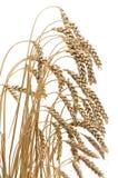 Oren van rijpe tarwe op een witte achtergrond Royalty-vrije Stock Foto