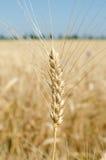 Oren van tarwe in de foto van het gebiedsclose-up Royalty-vrije Stock Fotografie