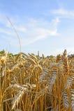 Oren van tarwe op het gebied Royalty-vrije Stock Foto