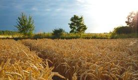 Oren van tarwe vóór de oogst Royalty-vrije Stock Foto