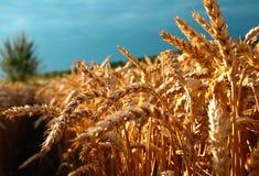 Oren van tarwe vóór de oogst stock foto's