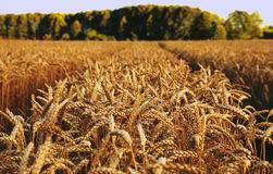 Oren van tarwe vóór de oogst Stock Afbeeldingen