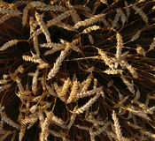 Oren van tarwe vóór de oogst stock foto