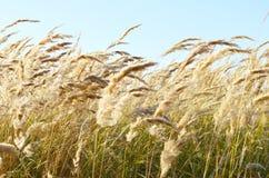 Oren van wilde graangewassenkromming onder de wind tegen de blauwe hemel royalty-vrije stock fotografie