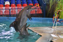 Orenburg, Rusland - November 8, het jaar van 2017: toon dolfijnen in Dolphinarium Royalty-vrije Stock Foto's