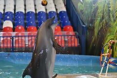 Orenburg, Rusland - November 8, het jaar van 2017: toon dolfijnen in Dolphinarium Stock Afbeelding