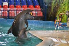 Orenburg, Rusland - November 8, het jaar van 2017: toon dolfijnen in Dolphinarium Royalty-vrije Stock Afbeelding