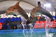 Orenburg, Russia - November 8, 2017 year: Dolphins and Belukha LAT. Delphinapterus leucas in the Dolphinarium stock images