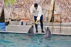 Orenburg, Russia - 15 ottobre 2017 anno: Delfini e Belukha (LAT Delphinapterus leucas) nel Dolphinarium Fotografia Stock