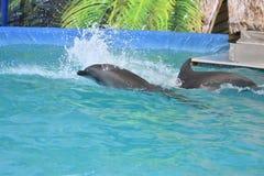 Orenburg, Russia - 15 ottobre 2017 anno: Istruttore dei delfini e dei delfini Fotografia Stock