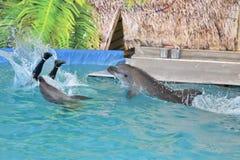Orenburg, Russia - 15 ottobre 2017 anno: Istruttore dei delfini e dei delfini Immagine Stock