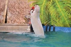 Orenburg, Russia - 15 ottobre 2017 anno: LAT di Belukha Delphinapterus leucas nel Dolphinarium Fotografie Stock