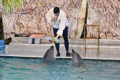 Orenburg, Russia - 15 ottobre 2017 anno: LAT di Belukha e dei delfini Delphinapterus leucas nel Dolphinarium Fotografia Stock