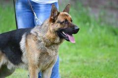 Orenburg Ryssland, 11 Juni 2017 år: Herde på hundshowen Royaltyfri Fotografi