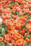 Oreng tulipanów pola przy kwiatów festiwalami w Rayong Tajlandia zdjęcie royalty free