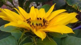 Orenge för afrikansk tusensköna blomma och sidor arkivfoto
