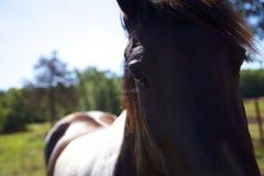 Oreo названное лошадью Стоковое Фото