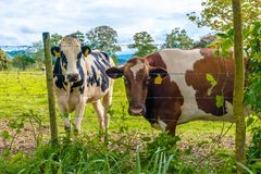 Oreo Cookie and Chocolate Milk Cow. In the Island of Puerto Rico Stock Photo