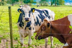 Oreo Cookie and Chocolate Milk Cow. In the Island of Puerto Rico Royalty Free Stock Image