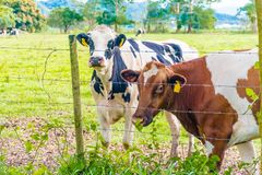 Oreo Cookie and Chocolate Milk Cow. In the Island of Puerto Rico Royalty Free Stock Photography