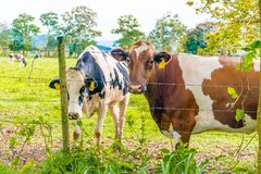 Oreo Cookie and Chocolate Milk Cow. In the Island of Puerto Rico Royalty Free Stock Photo