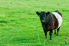 Oreo Cow in Green Pasture. Rare Belted Galloway cow (aka Belties, Oreo Cows, and police car cows) with belted, white band around mid section and black/brown on Royalty Free Stock Image
