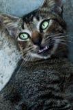 Oreo kattungen Fotografering för Bildbyråer