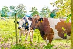 Oreo-Plätzchen-und Kakao-Kuh Lizenzfreies Stockbild