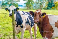Oreo-Plätzchen-und Kakao-Kuh Lizenzfreie Stockfotos