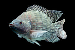 Oreochromis mossambicus Royalty Free Stock Photo
