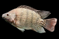 Oreochromis Mossambicus Tilapia Fish Royalty Free Stock Image