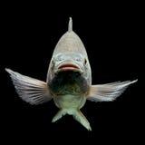 Oreochromis Mossambicus Tilapia Fish Stock Image