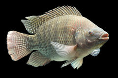 Oreochromis Mossambicus Tilapia Fish Stock Images
