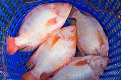Oreochromis niloticus Royalty Free Stock Image