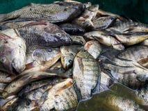 Oreochromis niloticus fish Stock Photo