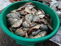 Oreochromis niloticus fish Stock Photography