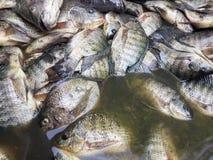 Oreochromis niloticus fish Royalty Free Stock Photo