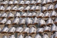 Oreochromis niloticus on net Stock Photography