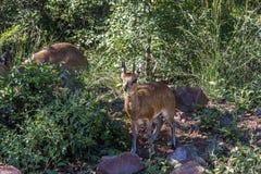 Oreotragus Klipspringer Oreotragus Стоковое фото RF