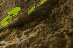 Oresitrophe d'herbe et de roches Photographie stock