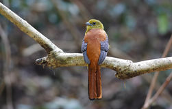 Oreskios arancio-breasted di Trogon Harpactes Fotografia Stock