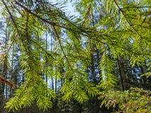 Orest przez zielonych gałąź jodła zdjęcia royalty free