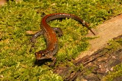 Orestes azuis de Ridge Dusky Salamander Desmognathus imagem de stock