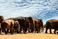 Orfanato do elefante de Sri Lanka Pinnawela fotos de stock