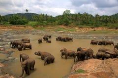 Orfanotrofio dell'elefante di Pinnawela in Sri Lanka Fotografie Stock Libere da Diritti