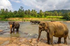 Orfelinato del elefante de Pinnawala Imagenes de archivo