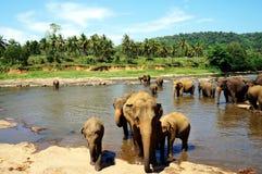 Orfelinato del elefante de Pinnawala Foto de archivo libre de regalías